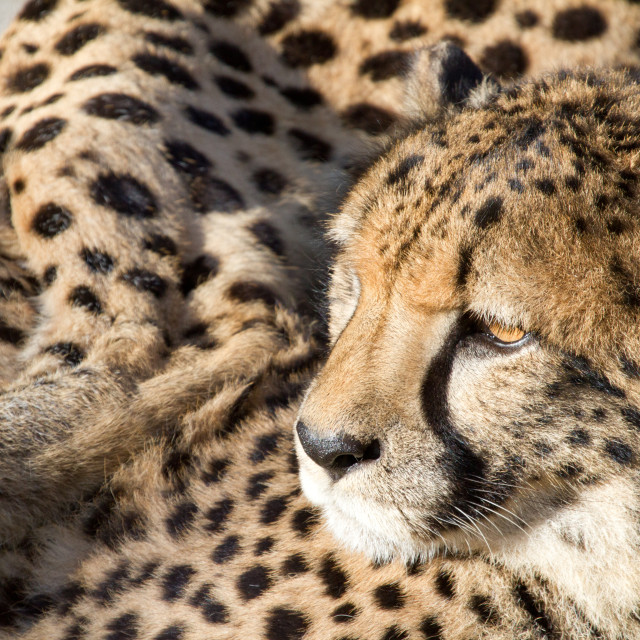 """Cheetah"" stock image"
