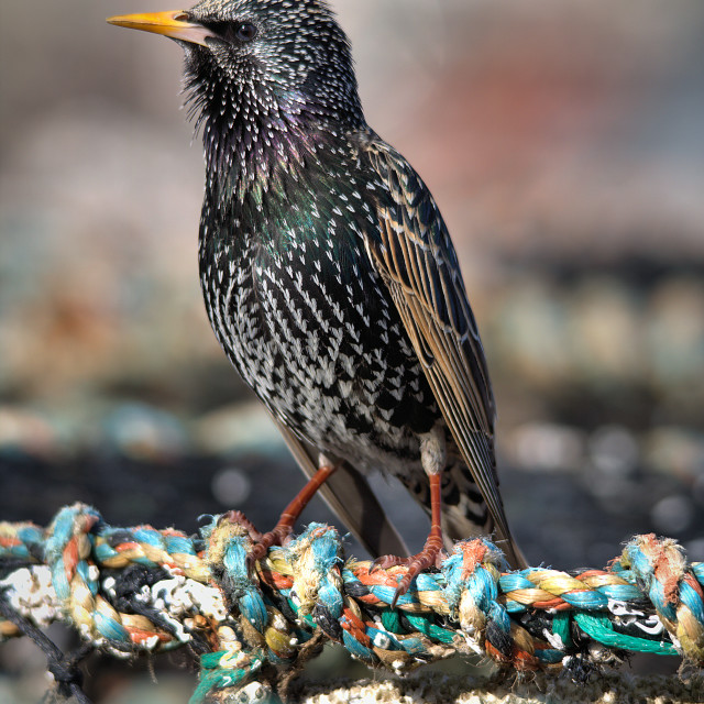 """Starling on a Lobster pot"" stock image"