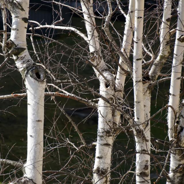 """Trunks of birch"" stock image"