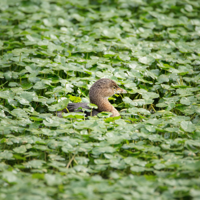 """""""Juvenile Coot Swimming in a Pond"""" stock image"""