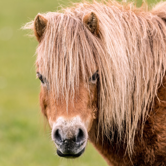 """""""Mini Horse Looking at the Camers"""" stock image"""