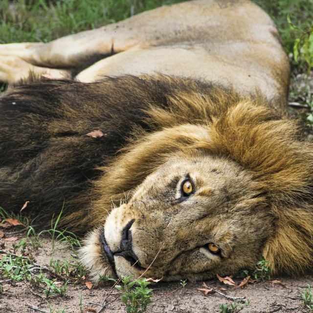 """Resting lion"" stock image"