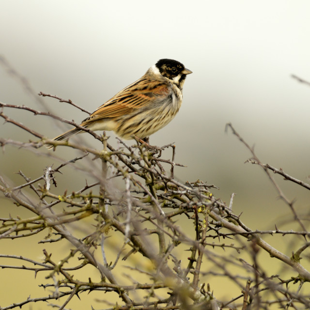 """A Reed bunting"" stock image"