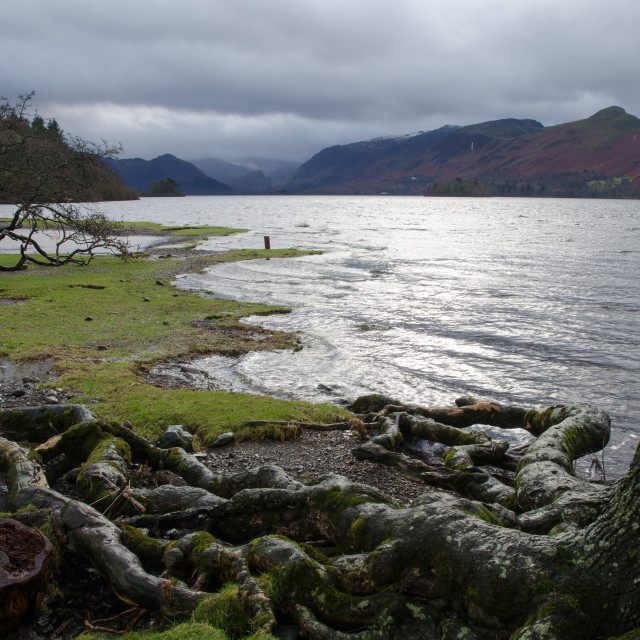 """Derwentwater tree roots"" stock image"