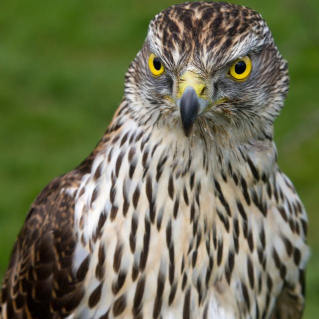 """Sparrowhawk"" stock image"