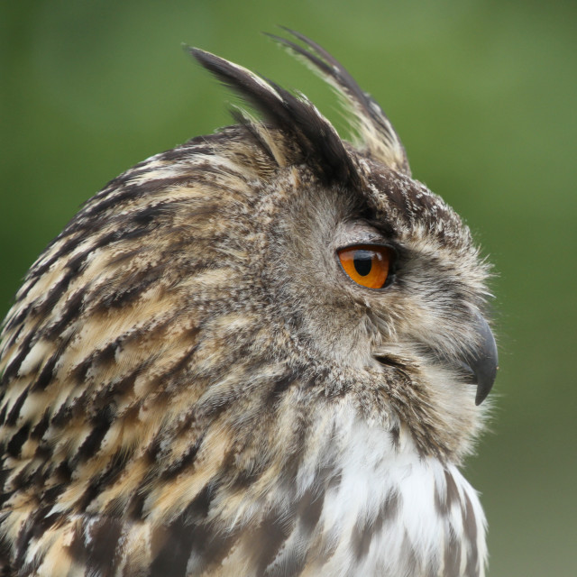 """Eagle Owl"" stock image"