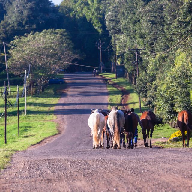 """Horses Grooms Walking Countryside Road"" stock image"