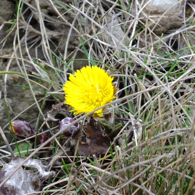"""Coltsfoot"" stock image"