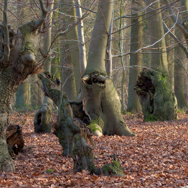"""""""Beech forest"""" stock image"""