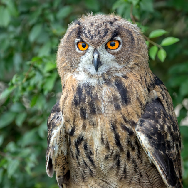 """""""Eagle-owl in the forest, a portrait"""" stock image"""