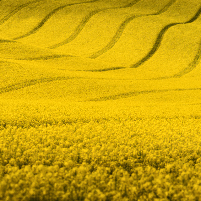 """Yellow rapeseed field with wavy abstract landscape pattern"" stock image"
