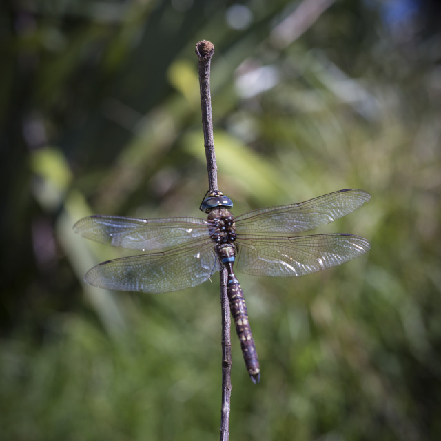 """Dragonfly (Blue Spotted Hawker) Adversaeschna brevistyla"" stock image"