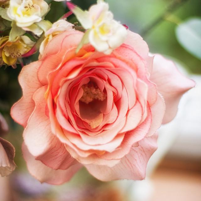 """Silk Rose"" stock image"