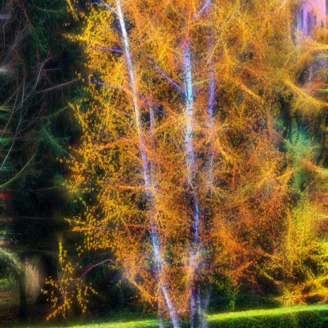 """Birches trees"" stock image"