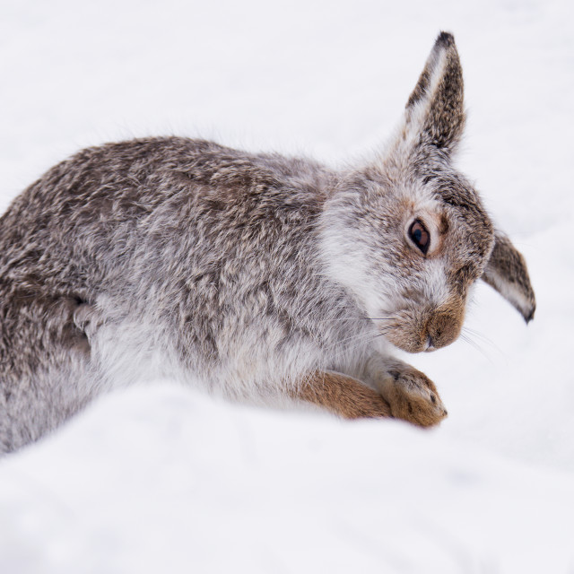 """Mountain hare"" stock image"