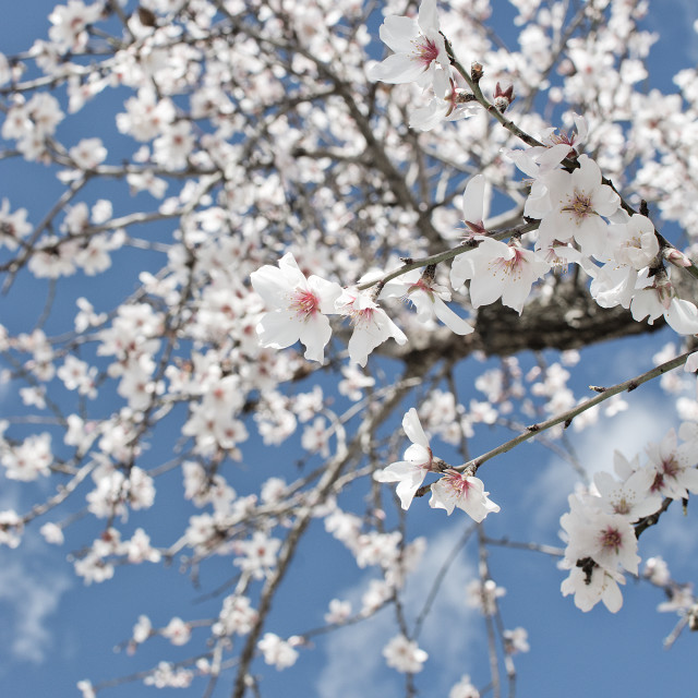"""""""Blossoming almond trees"""" stock image"""