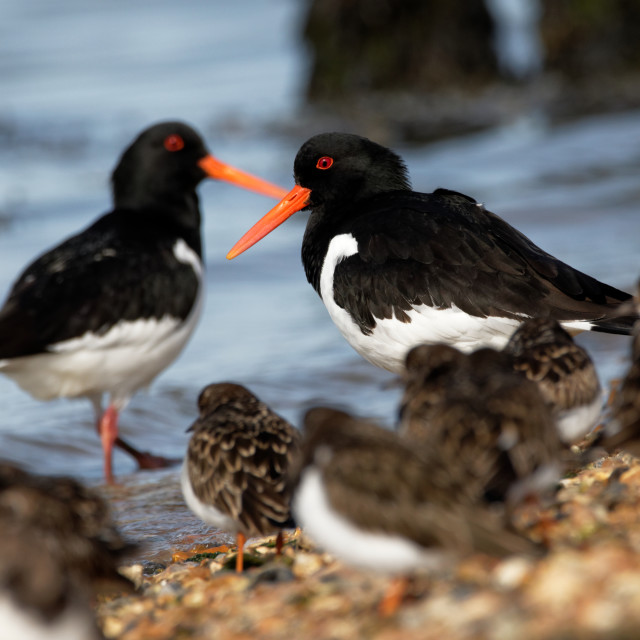 """Oystercatcher and Turnstones"" stock image"