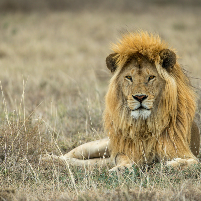 """Lion with golden mane relaxing in the dried grass"" stock image"