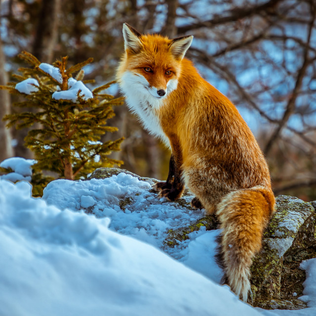 """Fox posing in Tatra Mountains, Slovakia"" stock image"