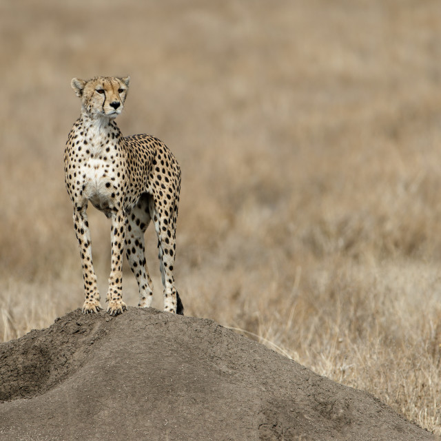 """Cheetah on the lookout for prey"" stock image"