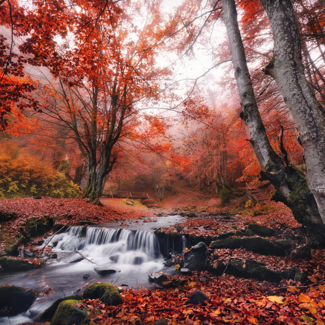 """Misty autumn forest with lots of red fallen leaves, a small creek and a bridge."" stock image"