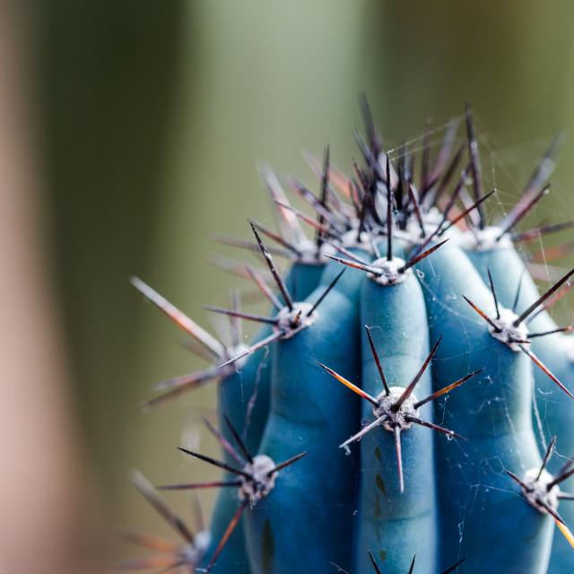 """Extreme close-up on sharp blue cactus spikes."" stock image"