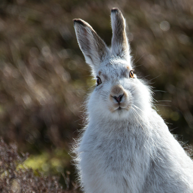 """Mountain hare, March 2017"" stock image"