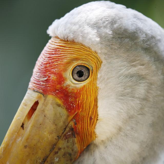 """""""Milky Stork in Kuala Lumpur Bird Park, Malaysia."""" stock image"""