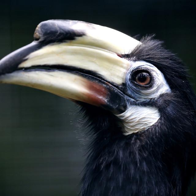 """An Oriental Pied Hornbill in Kuala Lumpur Bird Park, Malaysia."" stock image"