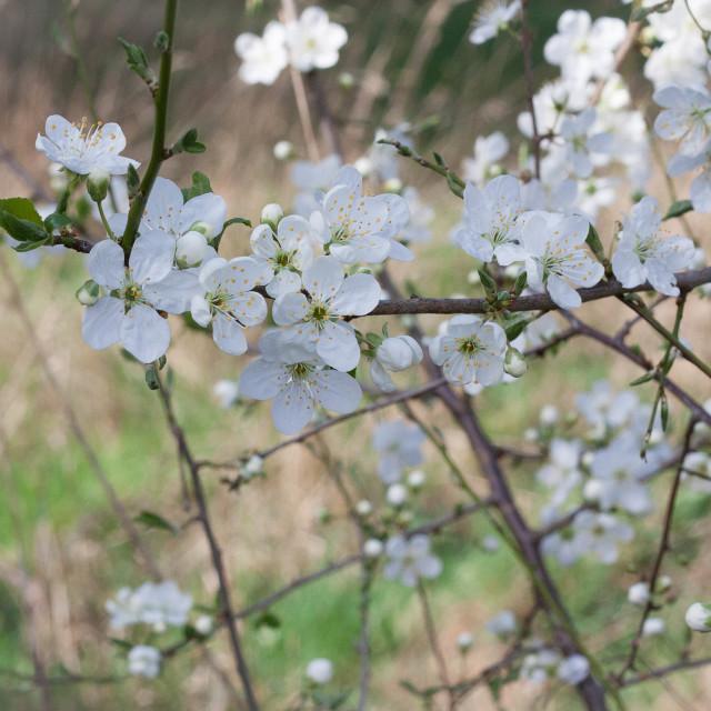 """Flowering Tree"" stock image"