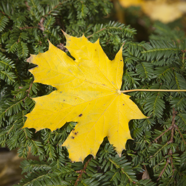 """Fall season, yellow leaf"" stock image"