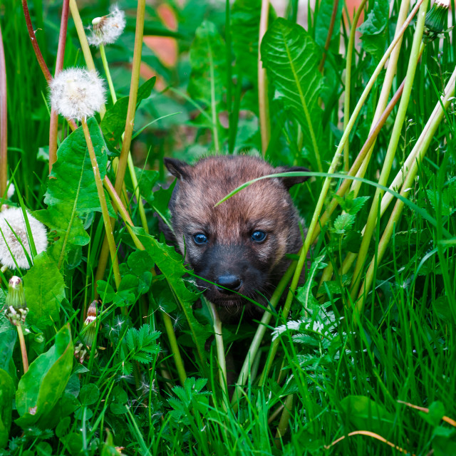"""""""Gray Wolf Cubs in a Grass"""" stock image"""
