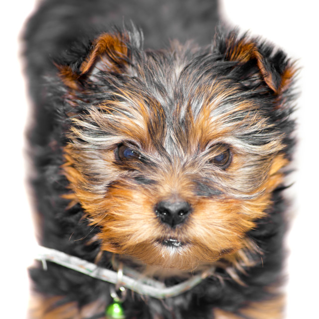 """tiny male cupcake yorkie dog"" stock image"
