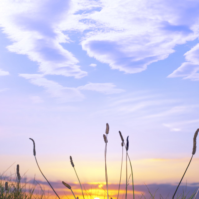 """tall grass on the wild atlantic way sunset"" stock image"