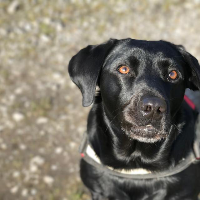 """Black Labrador dog"" stock image"