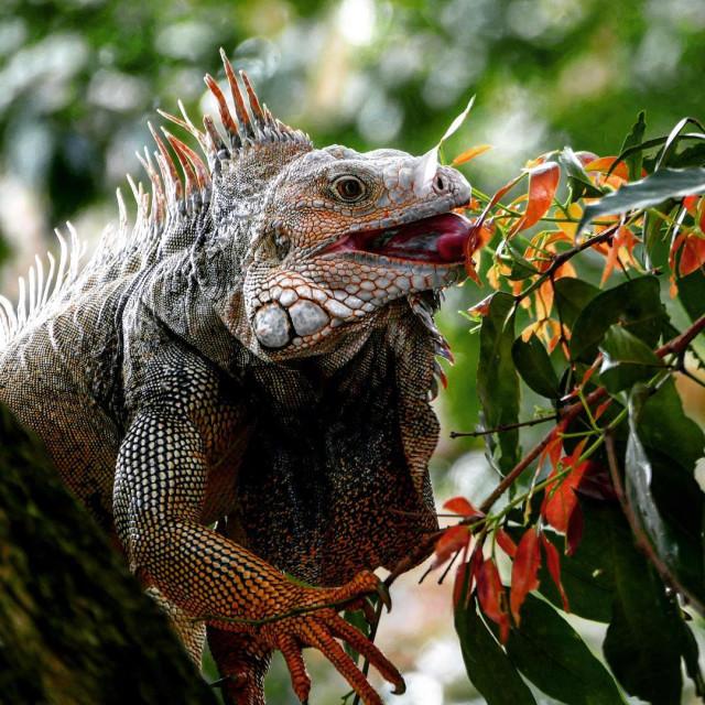 """Feeding Iguana, Medellin"" stock image"