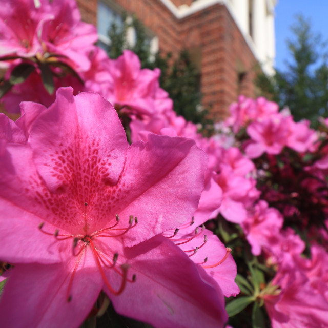 """East Texas Azalea"" stock image"