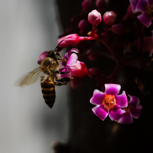 """""""Honey bee is feeding blooming star fruit flowers"""" stock image"""