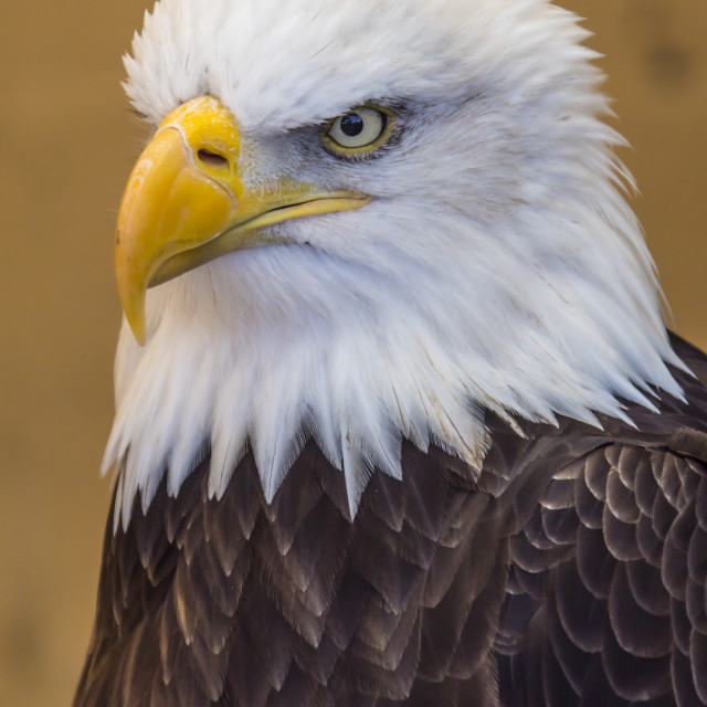 """Bald Eagle"" stock image"