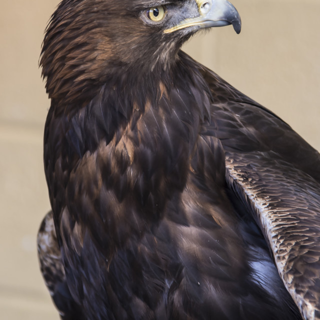 """Golden Eagle"" stock image"