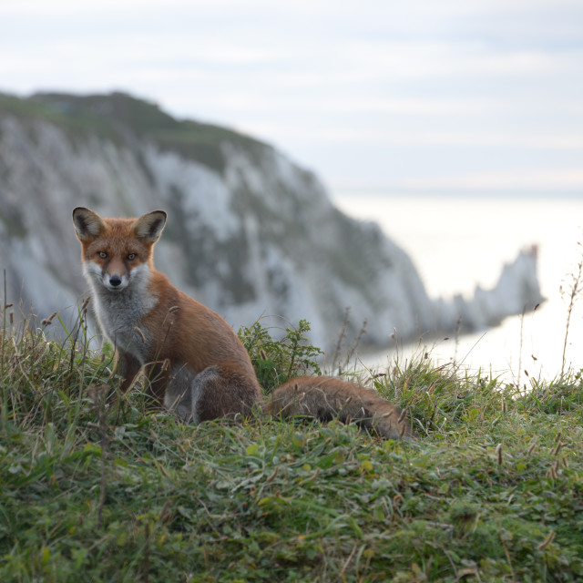 """""""Fox at the Needles, Isle of Wight"""" stock image"""