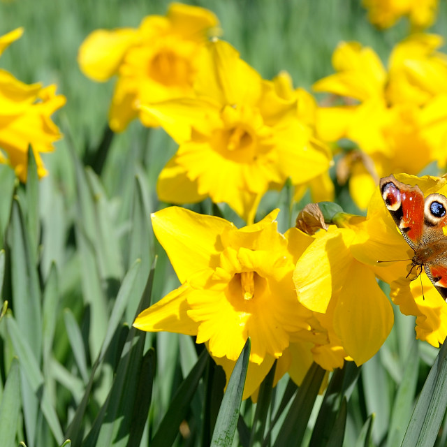 """Spring Sunshine Bufferfly"" stock image"
