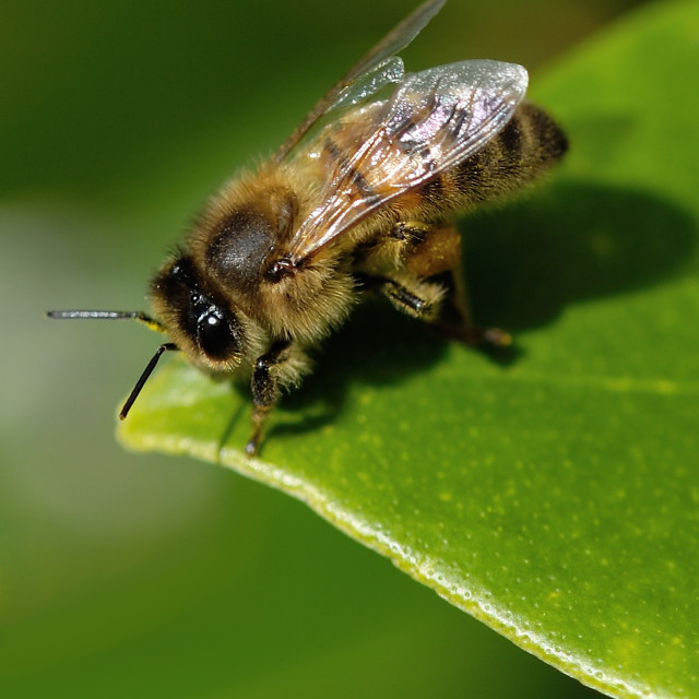 """Honey bee resting"" stock image"