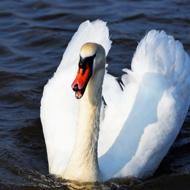 """Quirky Mute swan"" stock image"