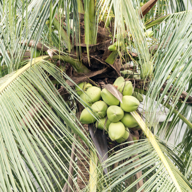 """""""Coconut at Tree"""" stock image"""