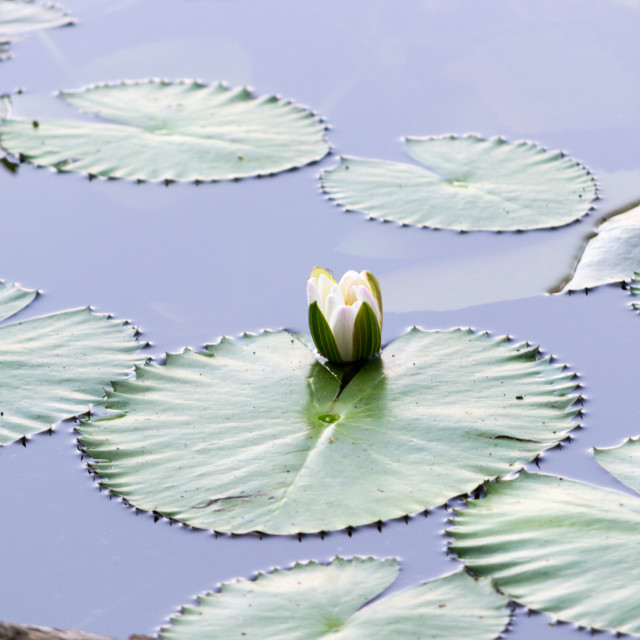 """Brightly Colored Water Lily or Lotus Flower Floating on Pond"" stock image"