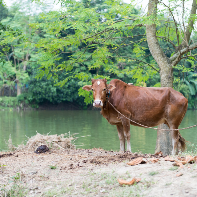 """Red Angus Cow"" stock image"