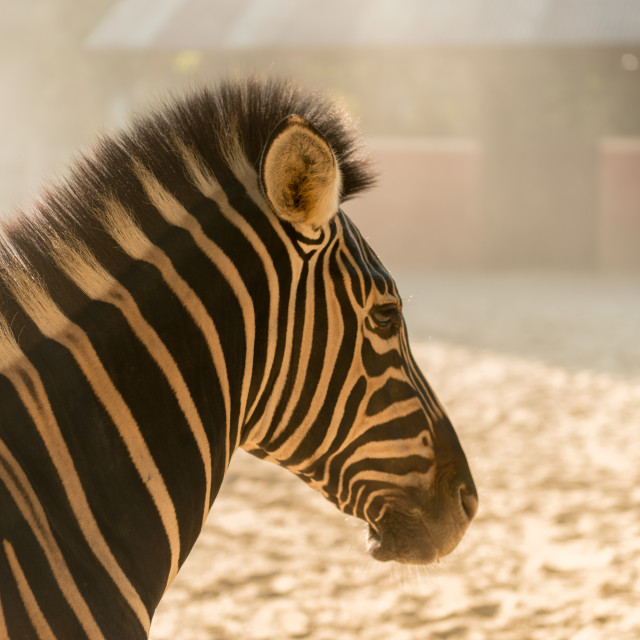 """Zebra looking at camera, Etosha National Park, Namibia"" stock image"