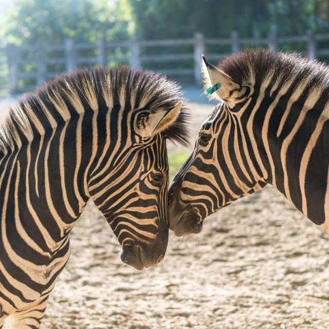 """Zebra Duo"" stock image"