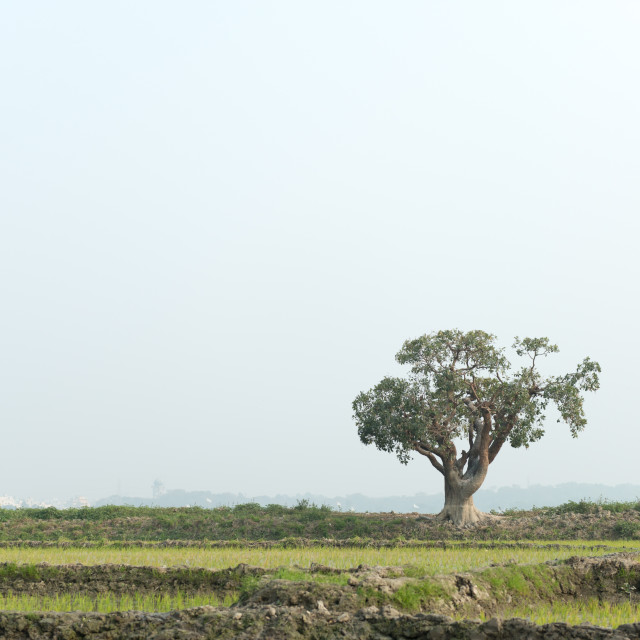 """Landscape with single tree in Bangladesh"" stock image"